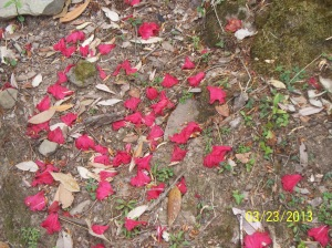 These are the fallen petals of the colorful Rhododendrum Arboreum tree. The flowers are edible as well as medicinal, good for women's health!